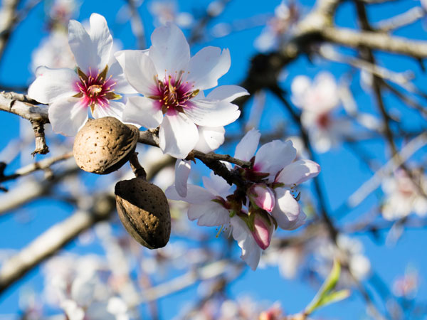 Australian almonds tree